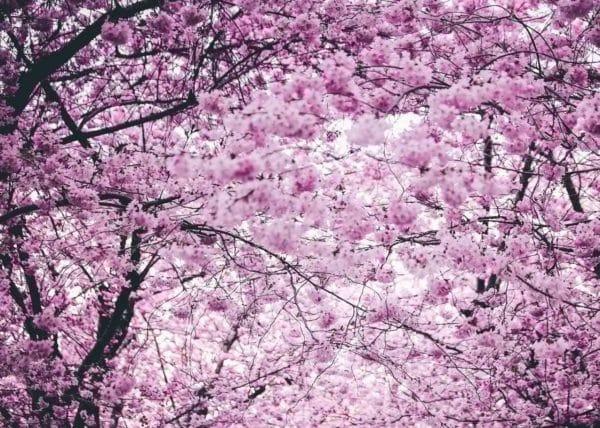 Japan Travel Guide - Sakuras