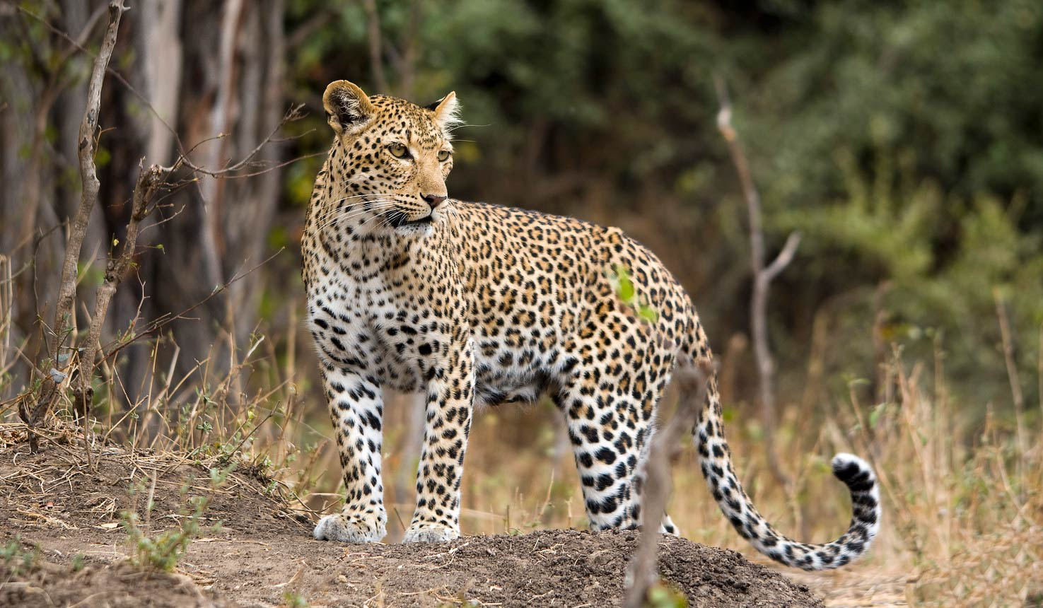 safari to leopards with