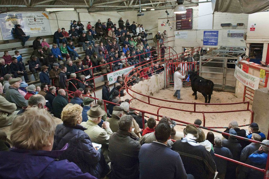 Buy Cattle From The Comfort Of Your Armchair As Ballina