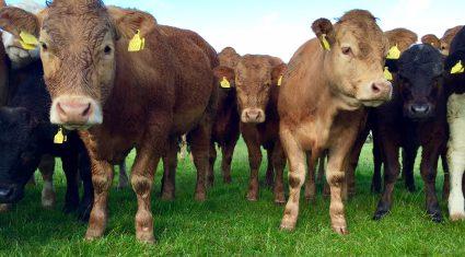 Ship to bring 3,000 Irish bulls to Turkey en route to Ireland