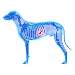 Dog Vital Organs Diagram Polk Audio Subwoofer Wiring Pancreatitis In Dogs Symptoms Treatment Prevention Xray