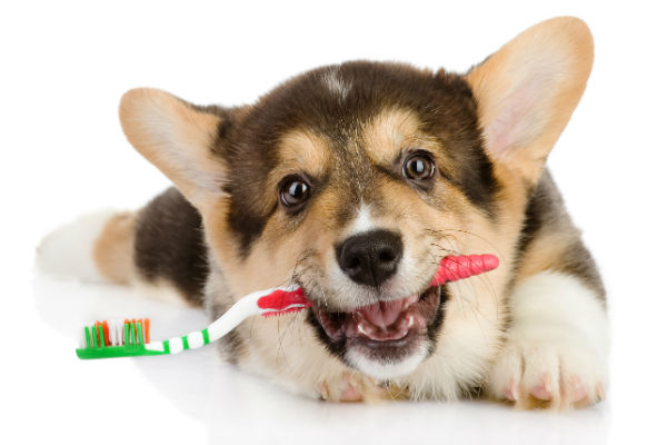 corgi with toothbrush