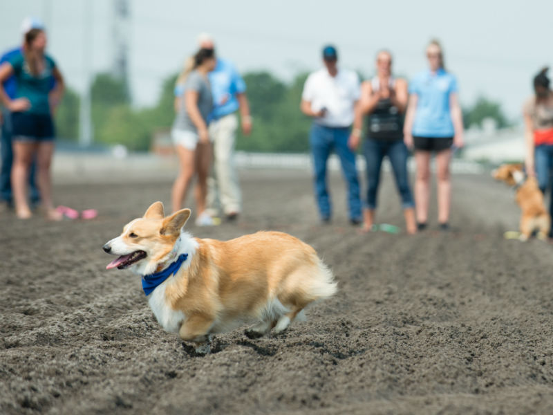 28 Amazing Scenes From the First Annual Corgi Races at