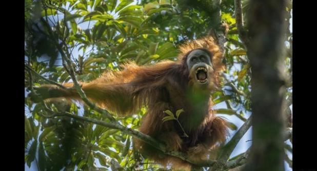 القرود المهددة بالانقراض في إندونيسيا