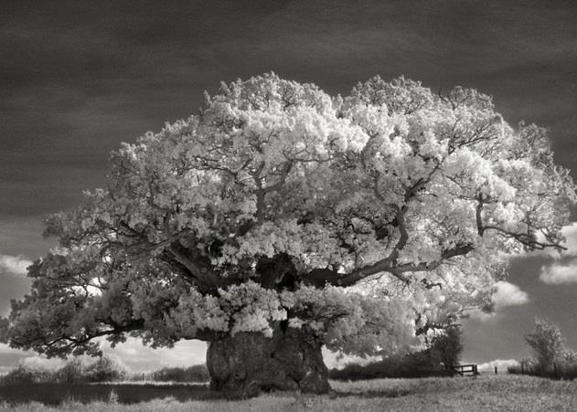 """""""شجرة البلوط"""" أول شجرة صورتها بيث موون في بريطانيا"""