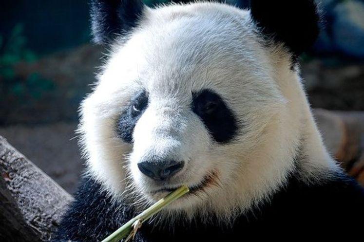 الباندا العملاق