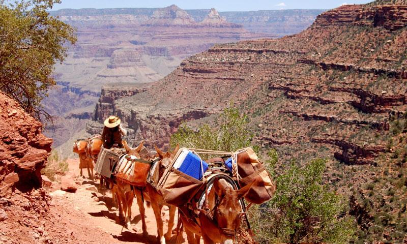 Grand Canyon Mule Trips  Rides Mules  AllTrips