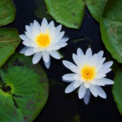 Lotus In Water Plant Diagram Kc Hilites Daylighter Wiring Top 8 Aquatic Plants Which Floats On Allrefer