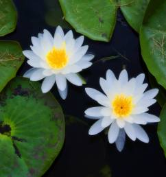 top 8 aquatic plants which floats on water [ 2048 x 1365 Pixel ]