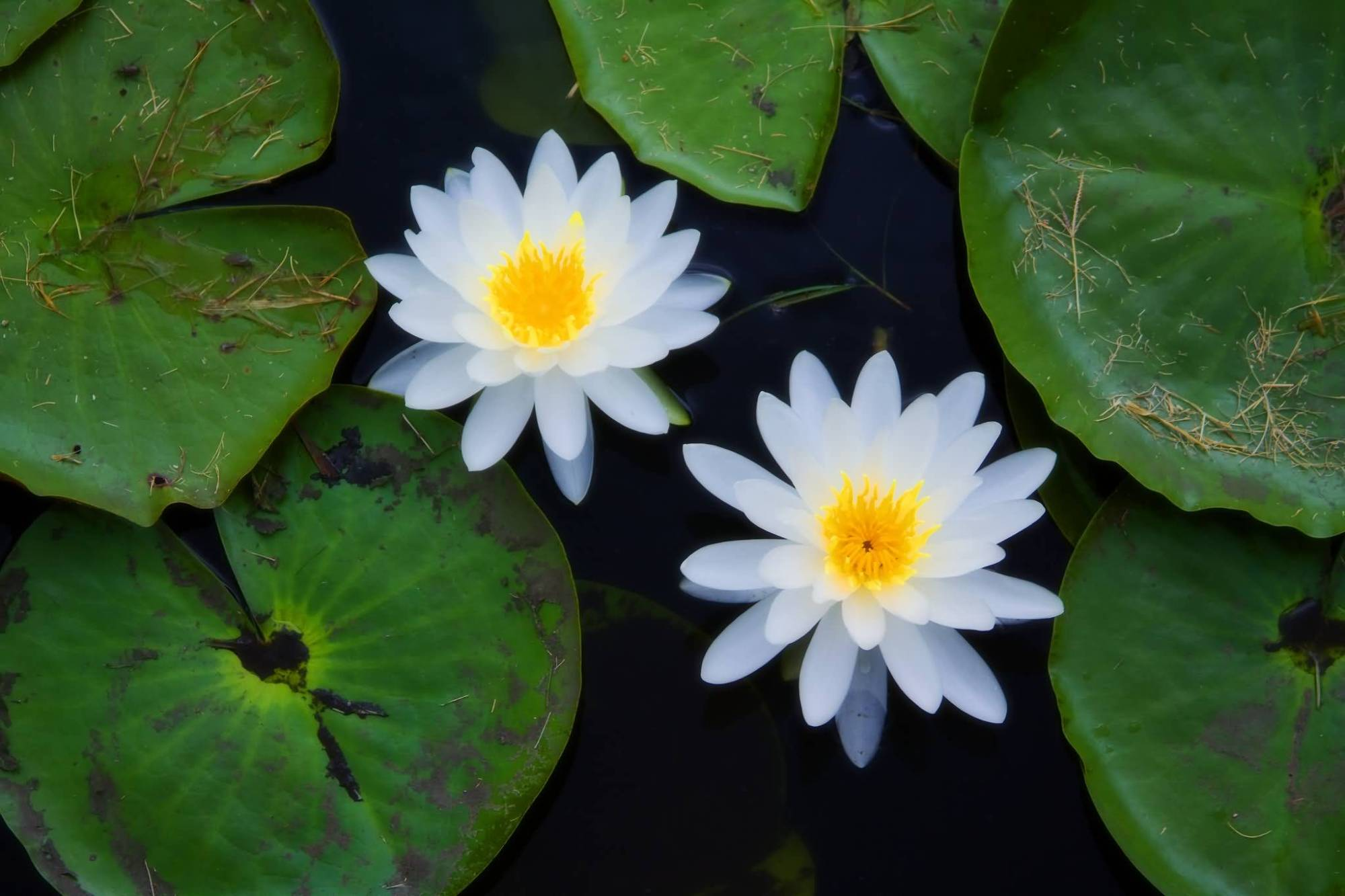 hight resolution of top 8 aquatic plants which floats on water