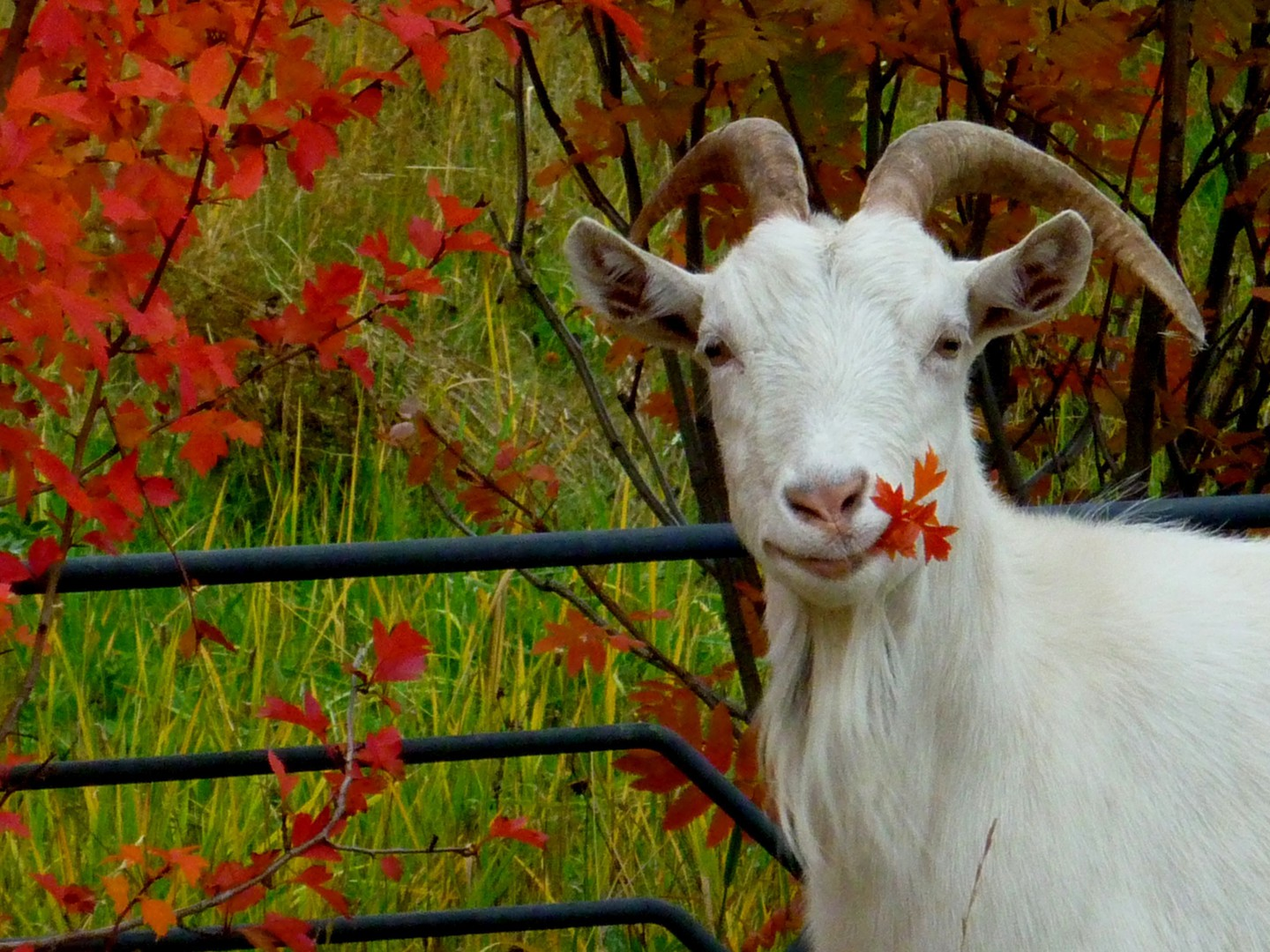 Dark Fall Wallpaper Animals Autumn Goats Leaves Wallpaper Allwallpaper In