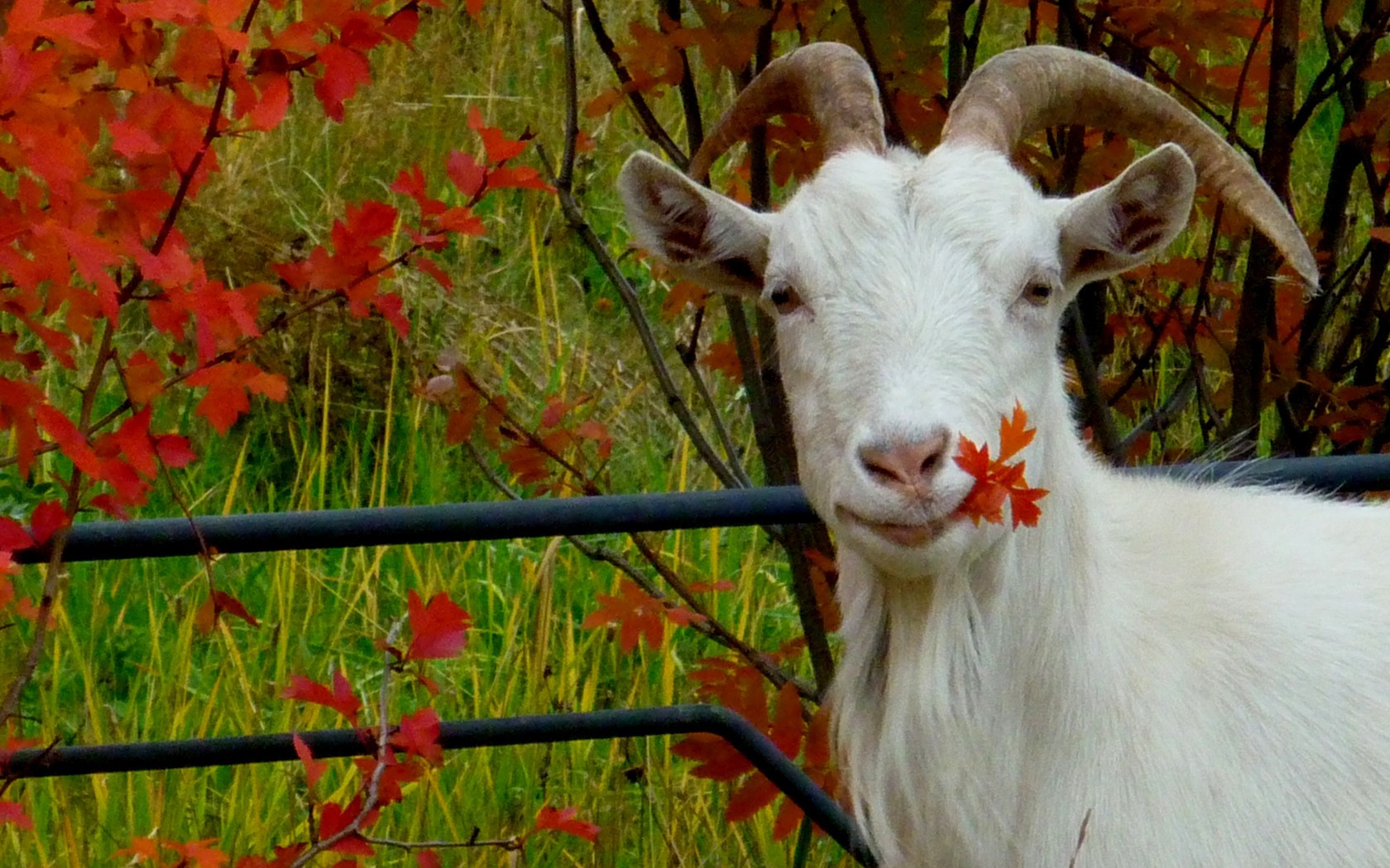 Fall Leaves Hd Mobile Wallpaper Animals Autumn Goats Leaves Wallpaper Allwallpaper In