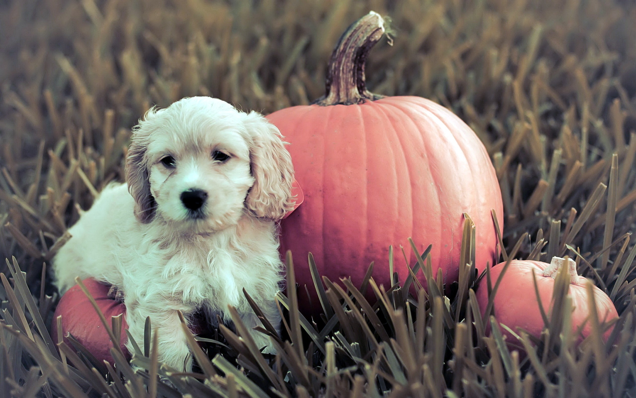 Fall Desktop Wallpaper With Pumpkins Dog With Pumpkin Wallpaper Allwallpaper In 10661 Pc En