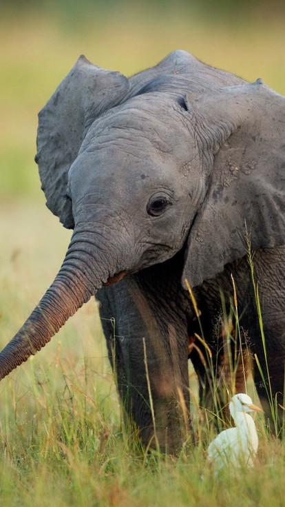 Cute Angel Wallpaper For Mobile Africa Animals Baby Elephant Birds Wallpaper