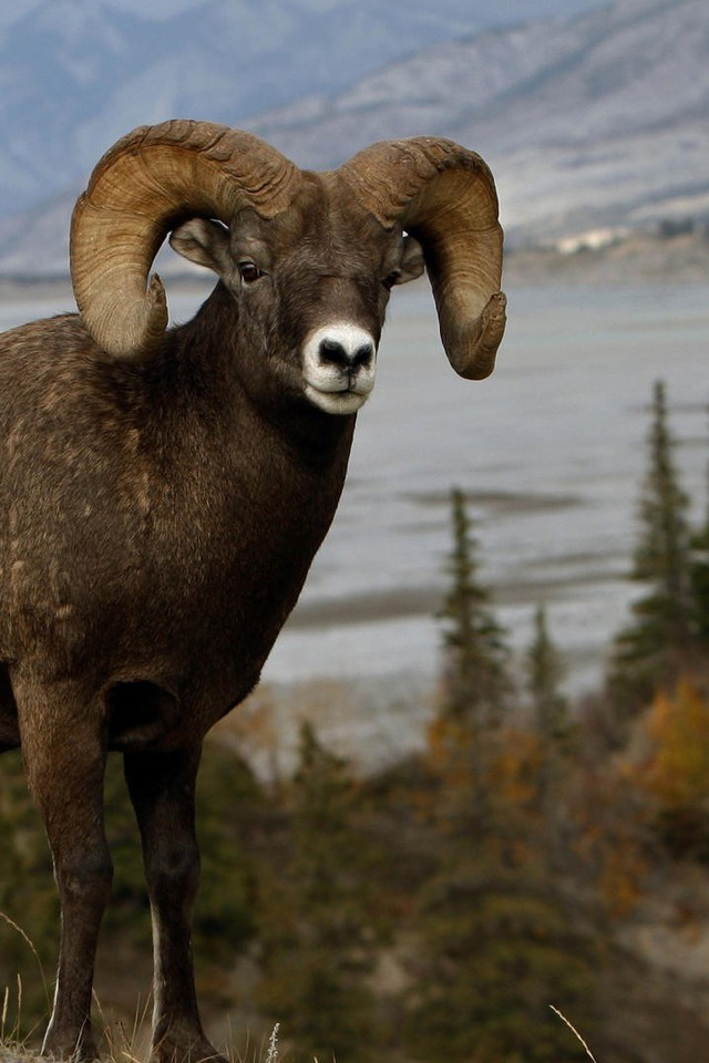 Hd Best Wallpapers For Iphone Animals Mountains Nature Ram Sheep Wallpaper