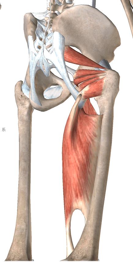 深層外旋六筋と内転筋の解剖図