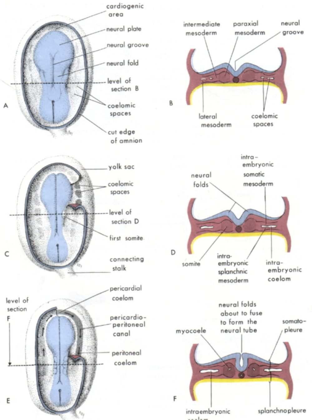 medium resolution of these spaces start off as a single horseshoe shaped circulation around the edge of the embryo and are folded into the body in the incredible origami that