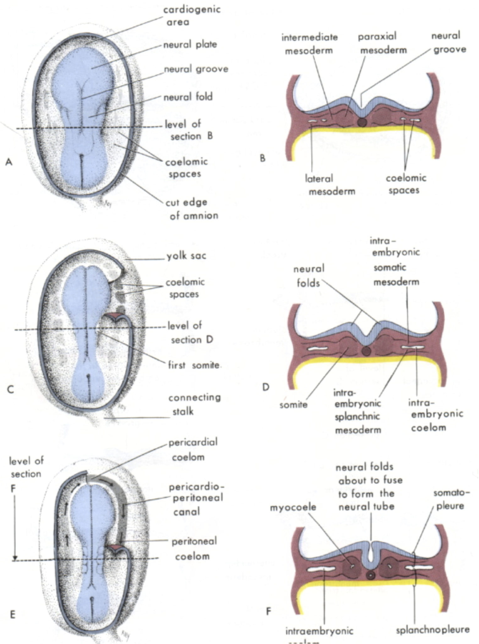 hight resolution of these spaces start off as a single horseshoe shaped circulation around the edge of the embryo and are folded into the body in the incredible origami that