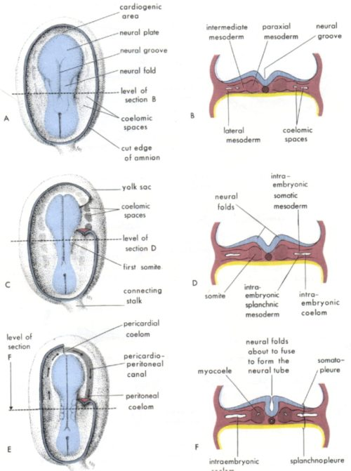 small resolution of these spaces start off as a single horseshoe shaped circulation around the edge of the embryo and are folded into the body in the incredible origami that