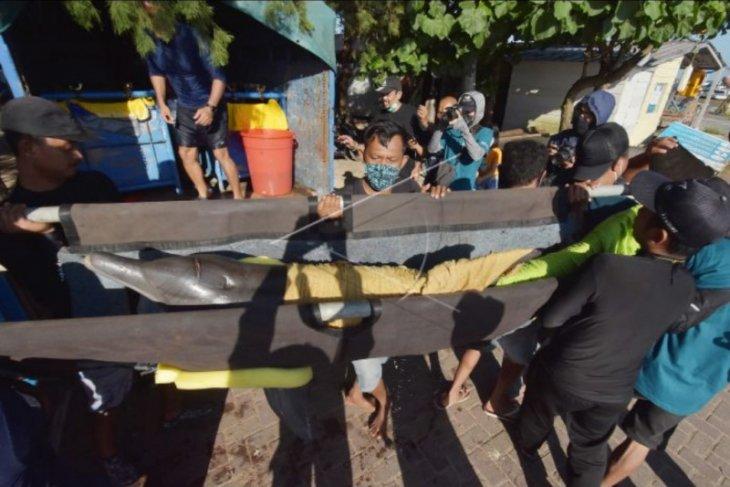 Evakuasi 7 lumba-lumba di Sanur