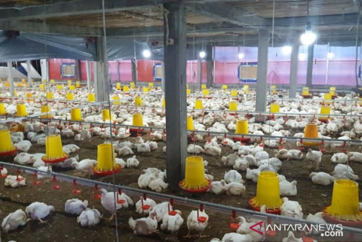 PLN Klungkung listriki budidaya Ayam Broiler