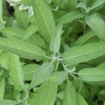 Everything You Need To Know About Growing Sage Kitchn