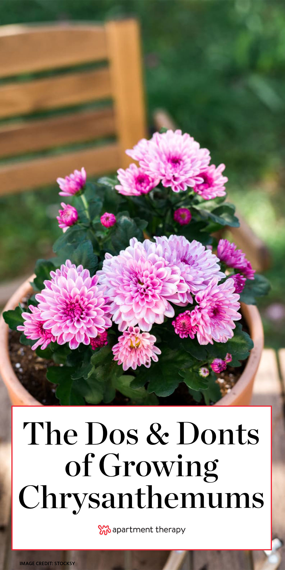Chrysanthemum Growing Tips How To Grow Mums Apartment Therapy