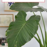 Elephant Ear Plant Care How To Grow Maintain Alocasia Apartment Therapy