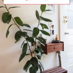 Rubber Plant Care How To Grow Maintain Rubber Plants Apartment Therapy