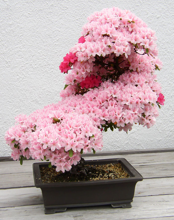 AD-Amazing-Bonsai-Trees-03