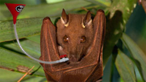 Pound For Pound Bats Can Drink You Under The Table Ars