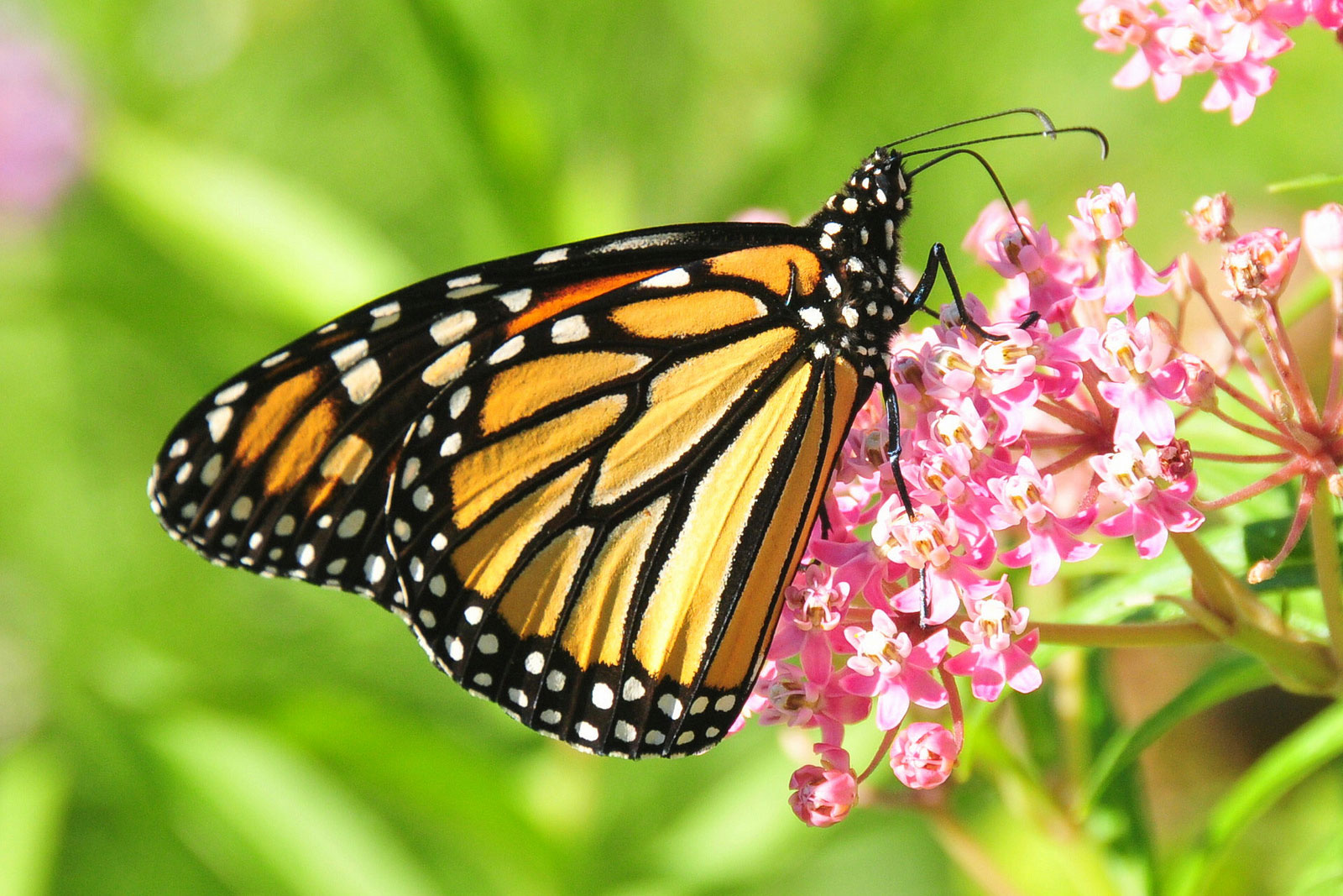 A Farewell To Kings New Ideas On The Vanishing Monarch