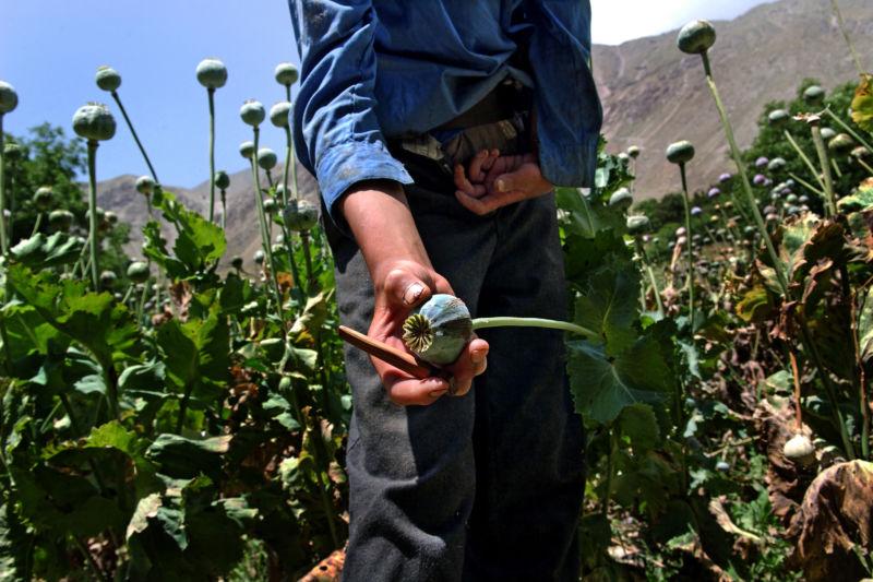 An opium poppy field in Afghanistan.