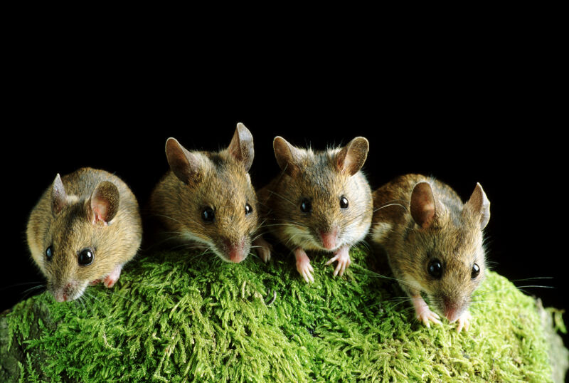 Researchers force two mice to hang out and induce FOMO in a third