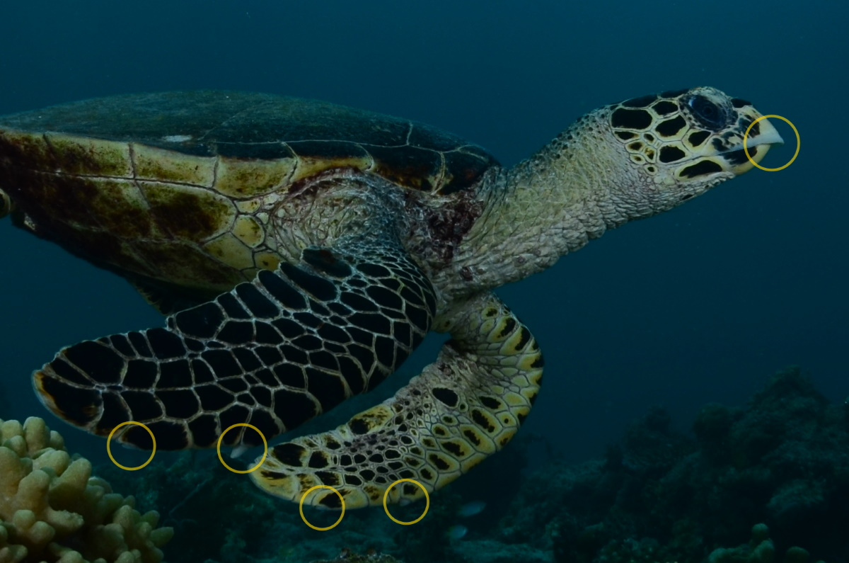 The Green Hawksbill And Loggerhead Turtle Three