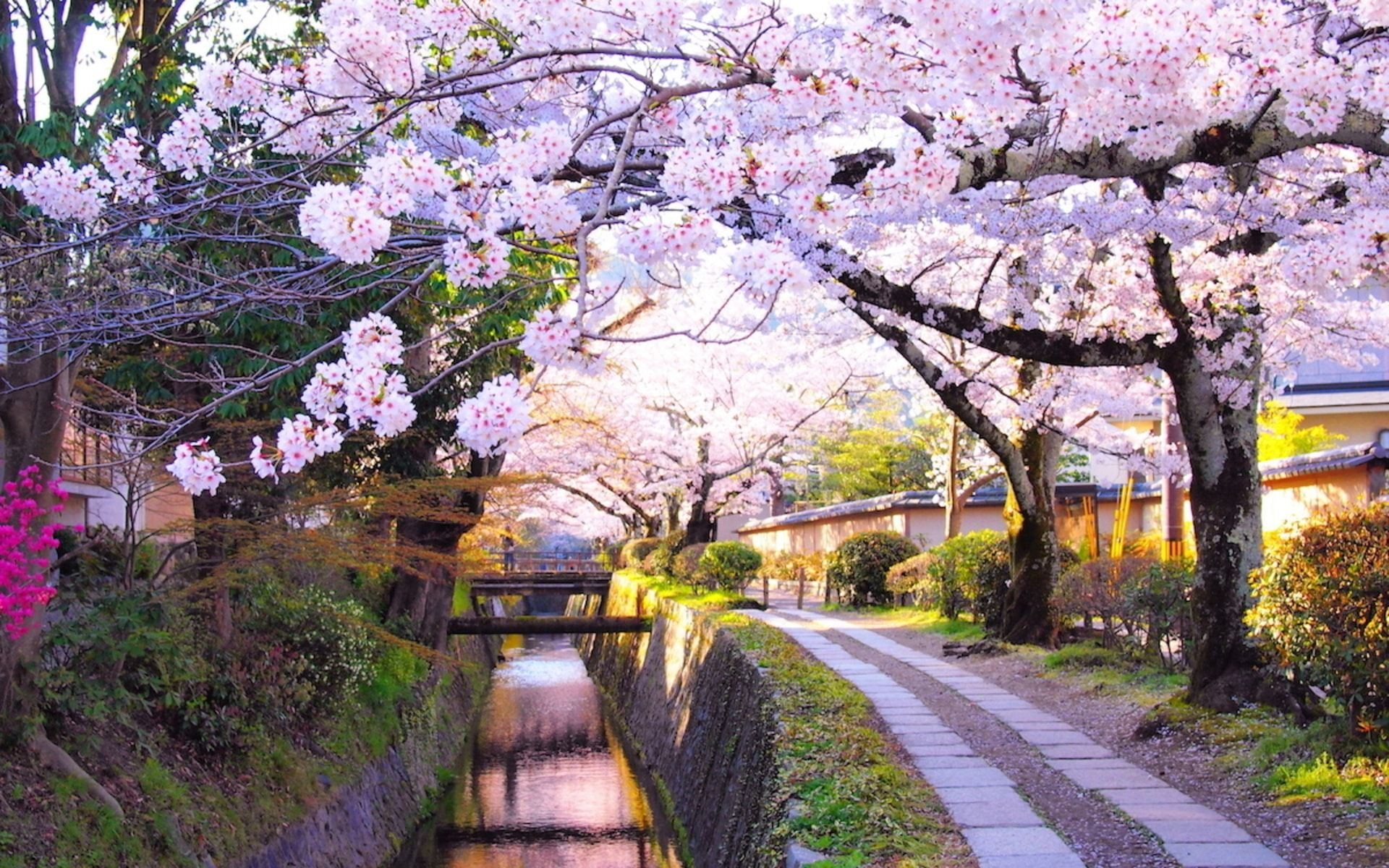 Tokyo Geisha Girl Wallpaper 1920x1080 The Hunt For Sakura In 2018 Here Are The Places In Japan