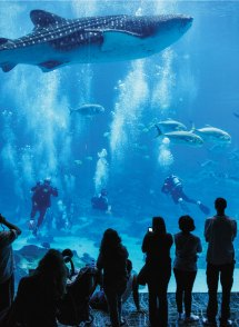 Swimming with Whale Sharks Georgia Aquarium