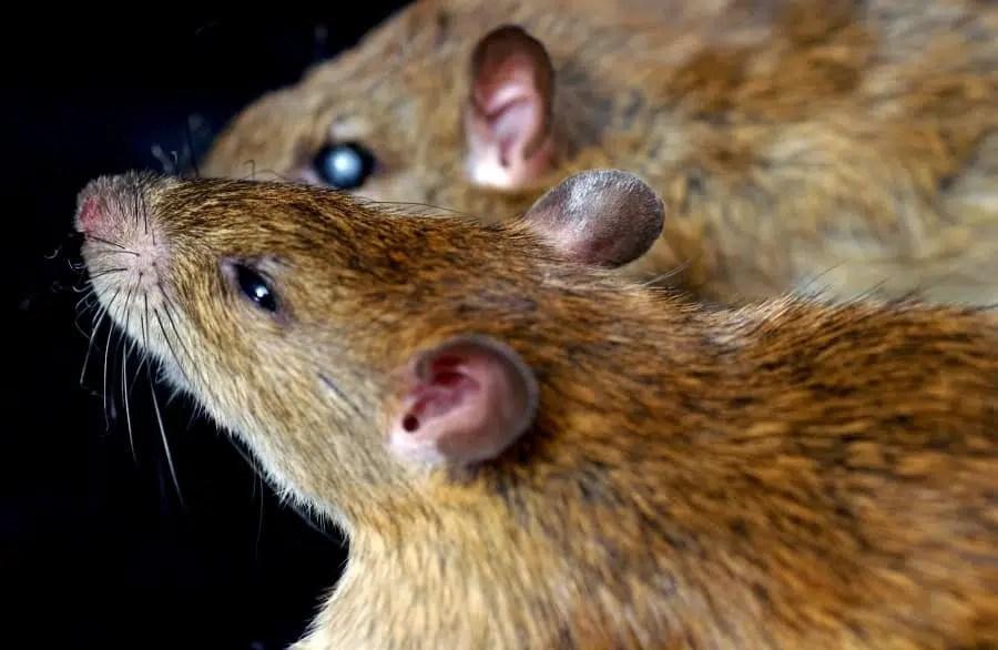 Warning: Rodents May Transmit The Hantavirus To Humans | Local 5 ...
