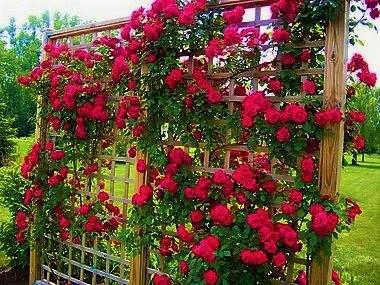 Rosa Trepadeira cor Vermelha em Cachos  Jardim Extico