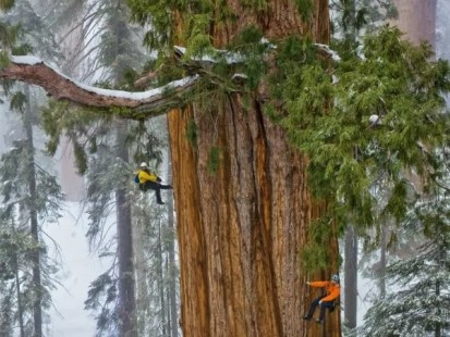 Sequoia - A maior árvore do mundo - Jardim Exótico - O maior portal de mudas do Brasil.