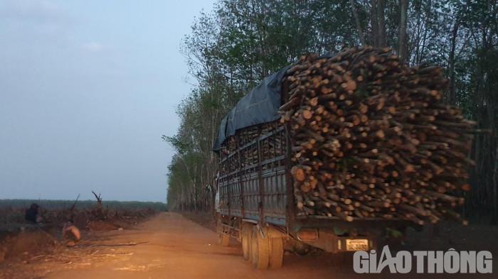Bất thường đấu giá cao su ở Kon Tum: Rầm rộ khai thác, vô tư chở quá tải 7