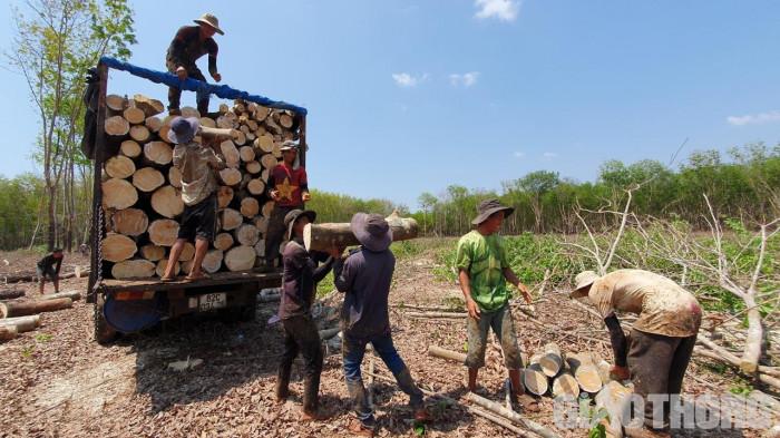 Bất thường đấu giá cao su ở Kon Tum: Rầm rộ khai thác, vô tư chở quá tải 1