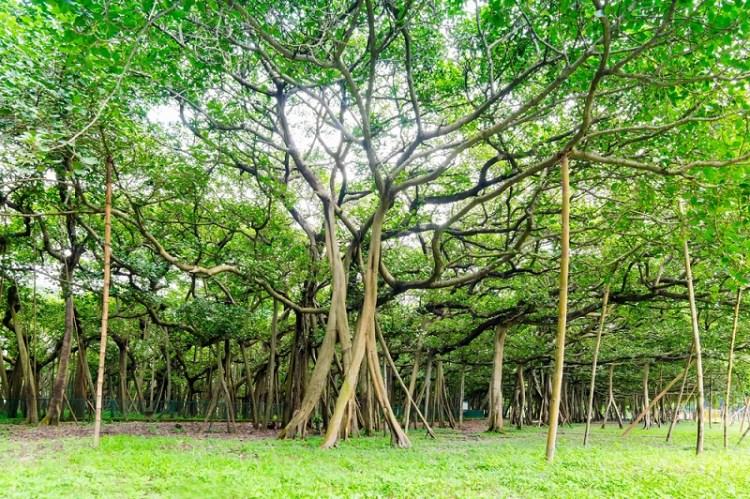 Albero di banyan in India