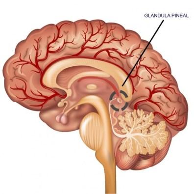 Glándula Pineal: aprende qué es, su función y cómo activarla | Bioguia