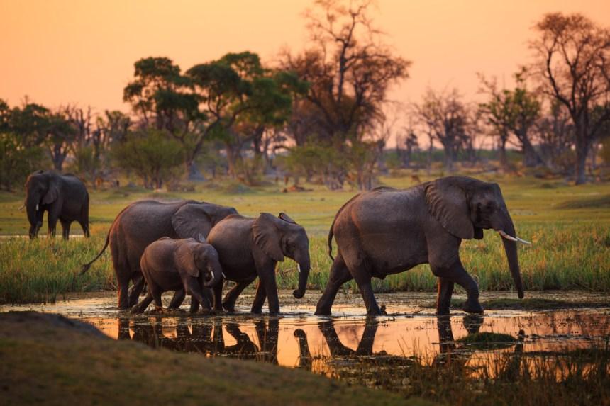 elefanti del Botswana