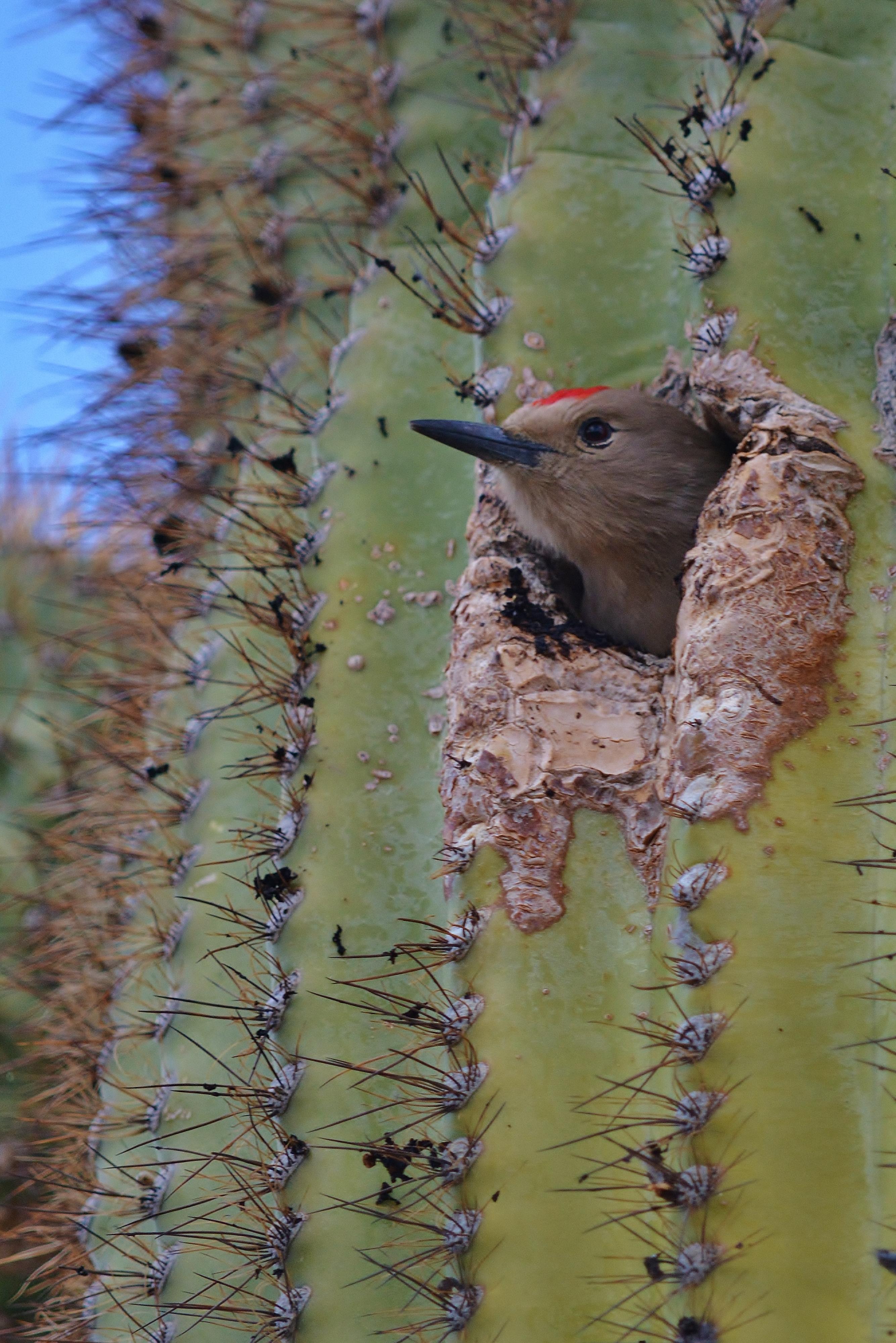 woodpecker saguaro