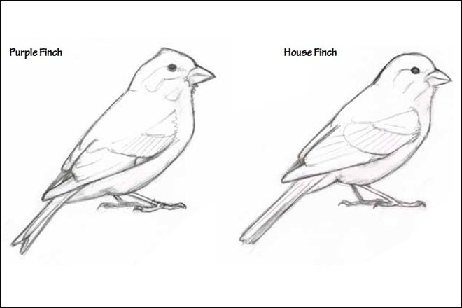 David Sibley: How to tell Purple Finch from House Finch