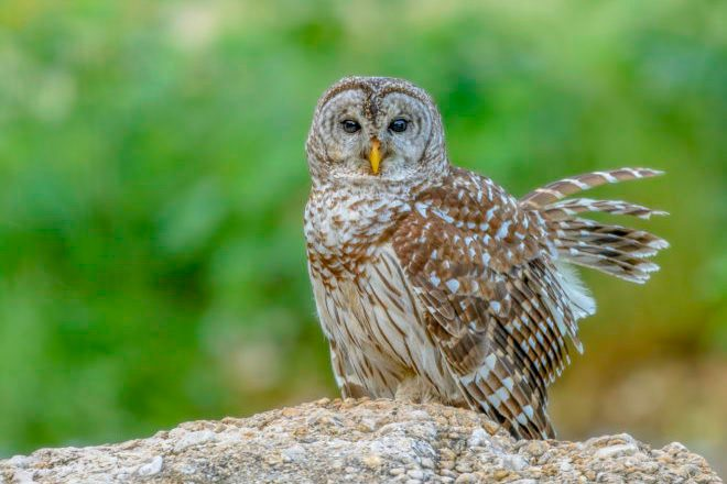 Barred Owls Move To The Burbs Gets Researcher S Attention Birdwatching