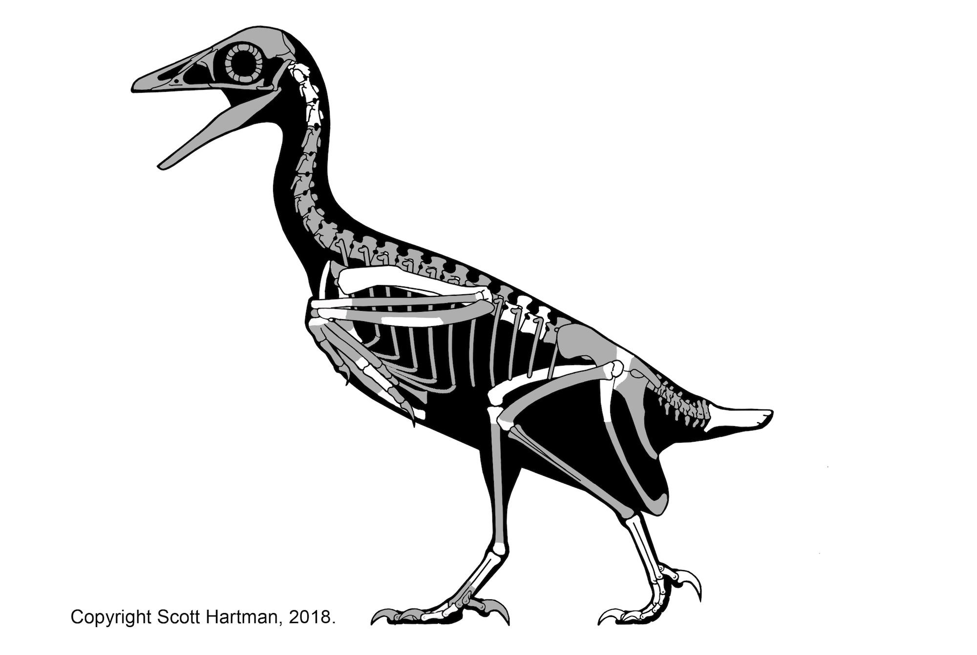 Rare fossil bird deepens mystery of avian extinctions