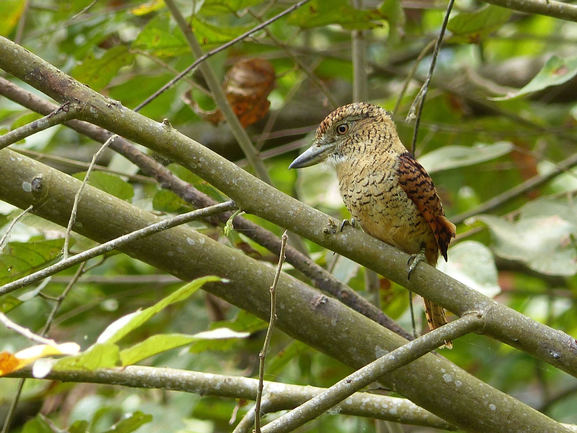 Barred Puffbird brunetti